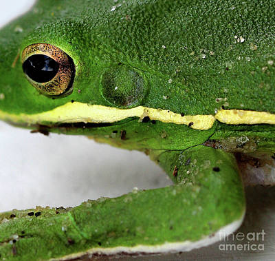 Photograph - Green Tree Frog Square #2  2016 by Karen Adams