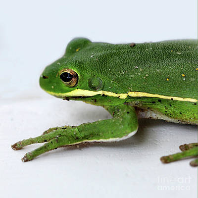 Photograph - Green Tree Frog Square 2016 by Karen Adams