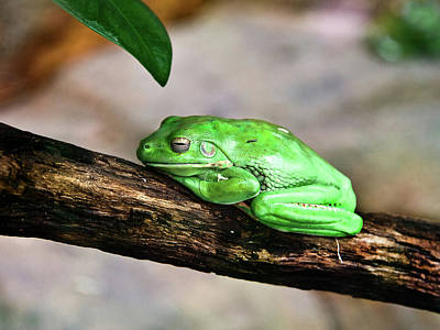 Photograph - Green Tree Frogs Declining In The Wild by Miroslava Jurcik