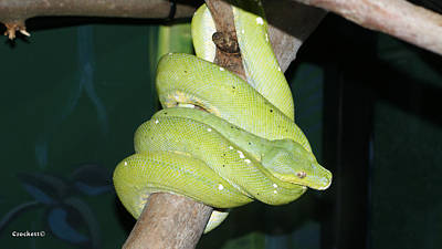 Photograph - Green Tree Python 1 by Gary Crockett