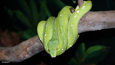 Photograph - Green Tree Python 2 by Gary Crockett