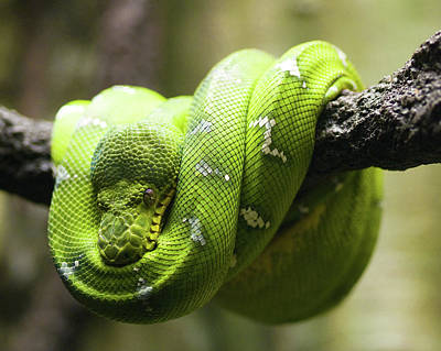 Green Tree Python Art Print by Andy Wanderlust