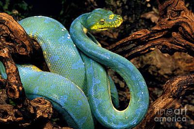 Green Tree Python Morelia Viridis Art Print by Gerard Lacz