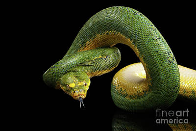 Reptiles Photograph - Green Tree Python. Morelia Viridis. Isolated Black Background by Sergey Taran
