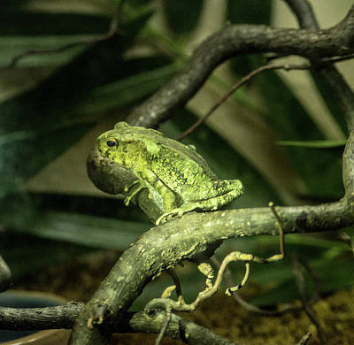 Photograph - Green Tropical Frog Croaking by Douglas Barnett