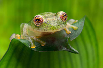 Frogs Photograph - Green Tropical Glass Frog by Dirk Ercken