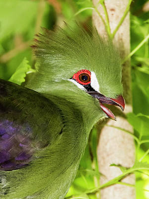 Photograph - Green Turaco Portrait 2 by Bob Slitzan