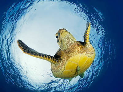 Turtle Photograph - Green Turtle Just Below Surface by Henry Jager