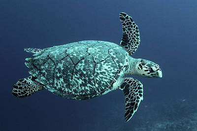 Photograph - Green Turtle by Roupen  Baker