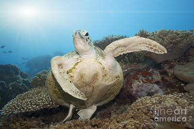 Reptiles Royalty-Free and Rights-Managed Images - Green turtle underwater by MotHaiBaPhoto Prints