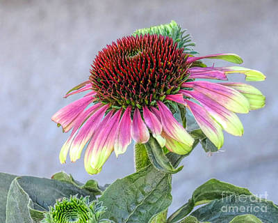 Photograph - Green Twister Coneflower by Janice Drew