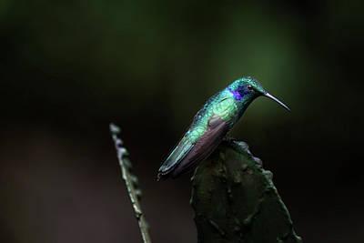 Photograph - Green Violet Ear Hummingbird by James David Phenicie