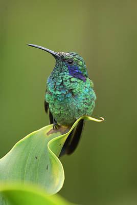 Photograph - Green Violet-ear Hummingbird by Thomas Marent
