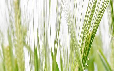Photograph - green wheat in Spring by Werner Lehmann