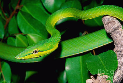 Green Whip Snake Art Print by John Cancalosi