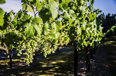 Wine Royalty-Free and Rights-Managed Images - Green Wine Grapes 2 by Pelo Blanco Photo