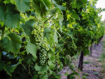 Wine Royalty-Free and Rights-Managed Images - Green Wine Grapes 3 by Pelo Blanco Photo
