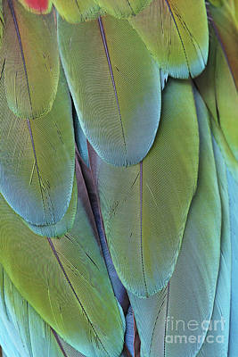 Photograph - Green-winged Macaw #4 by Judy Whitton
