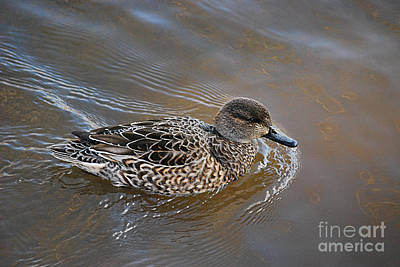 Photograph - Green-winged Teal 20131224_26 by Tina Hopkins