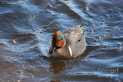 Photograph - Green-winged Teal 20131224_42 by Tina Hopkins
