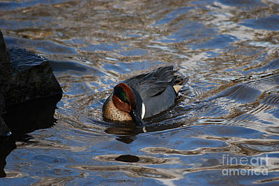 Photograph - Green-winged Teal 20131224_55 by Tina Hopkins