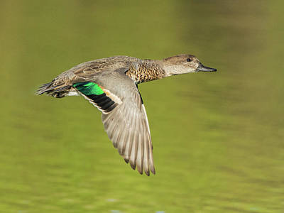 Green-winged Teal 6320-100217-2cr Art Print