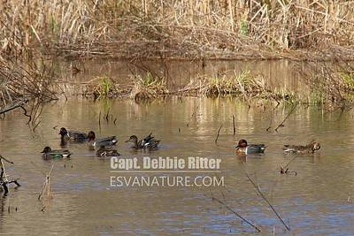 Photograph - Green Winged Teal 7942 by Captain Debbie Ritter