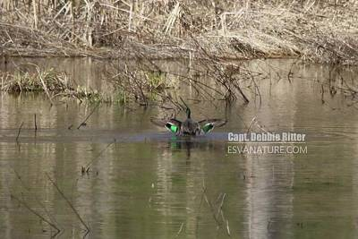 Photograph - Green Winged Teal 8029 by Captain Debbie Ritter