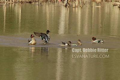 Photograph - Green Winged Teal 8103 by Captain Debbie Ritter