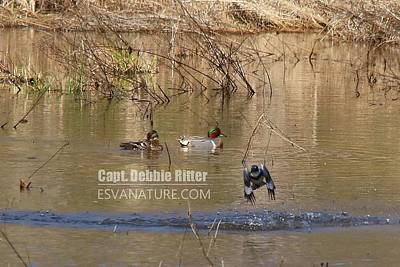 Photograph - Green Winged Teal Kingfisher 7947 by Captain Debbie Ritter