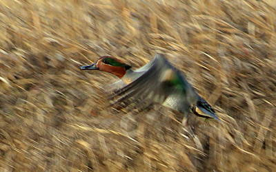 Mark Wagner Wall Art - Photograph - Green Winged Teal by Mark Wagner