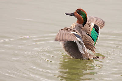 Photograph - Green-winged Teal by Ram Vasudev