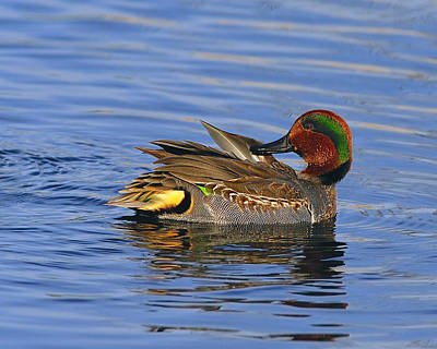 Photograph - Green-winged Teal by Tony Beck
