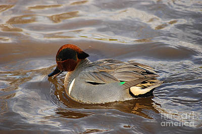 Photograph - Green-winged Teals 20131224_48 by Tina Hopkins