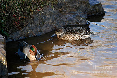 Photograph - Green-winged Teals 20131224_56 by Tina Hopkins