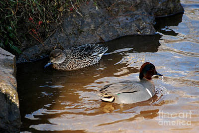 Photograph - Green-winged Teals 20131224_57 by Tina Hopkins