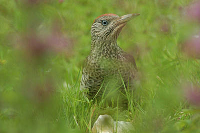 Photograph - Green Woodpecker by Franz Roth
