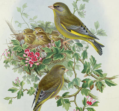 Pink Flower Branch Painting - Greenfinch by John Gould