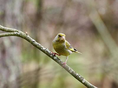 Photograph - Greenfinch by Jouko Lehto