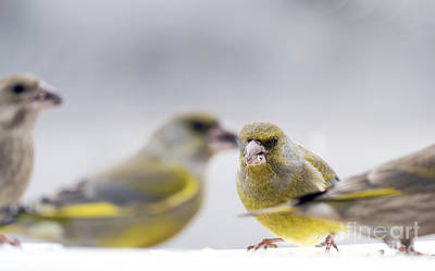 Nighttime Street Photography - Greenfinches by Odon Czintos