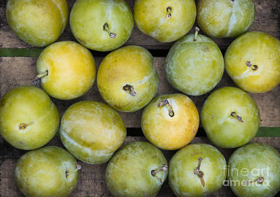 Greengage Harvest Art Print by Tim Gainey