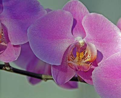 Photograph - Greenhouse Orchid Trio by Lynda Lehmann
