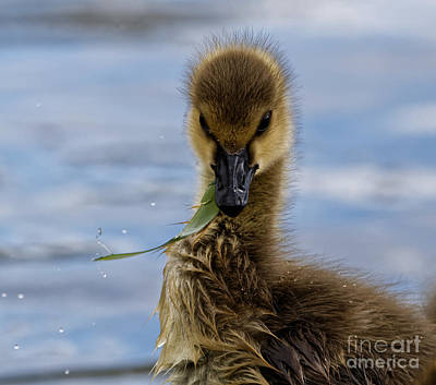 Closeup Photograph - Greens For Baby Goose by Sue Harper