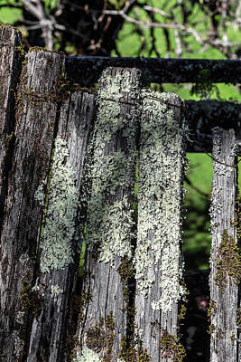 Photograph - Greenshield Lichen On Mossy Picket Fence by Kathleen Bishop