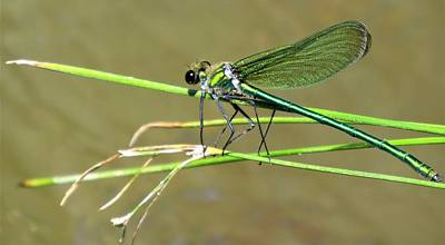 Photograph - Greenwing Dragonfly by Joshua Bales