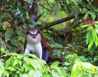 Photograph - Grenada Monkey 2 by Arthur Dodd