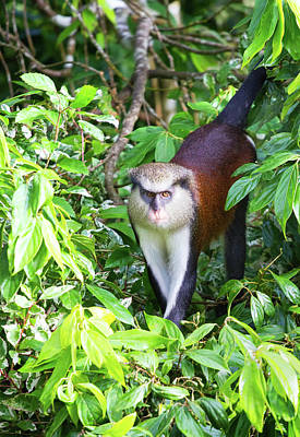 Photograph - Grenada Monkey by Arthur Dodd