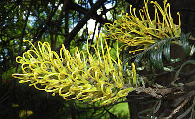 Photograph - Grevillea Sandra Gordon by Odille Esmonde-Morgan