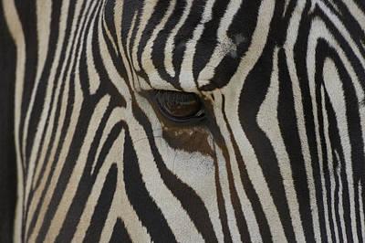 Grevys Zebra Equus Grevyi Close Art Print by Zssd