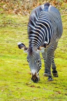 Photograph - Grevys Zebra Right by LeeAnn McLaneGoetz McLaneGoetzStudioLLCcom